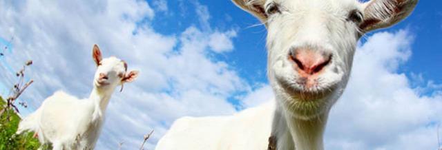 La rivincita del latte di capra