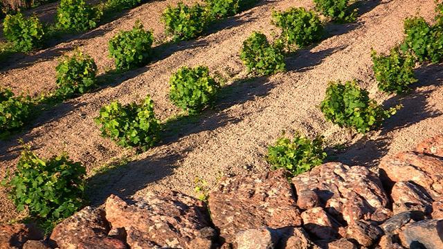 Filari di Vite ad Alberello a Pantelleria