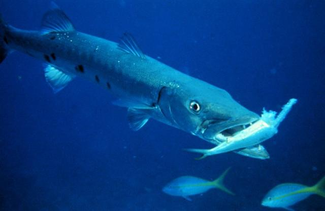 Il barracuda