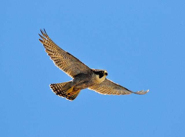 Un esemplare di Falco pellegrino