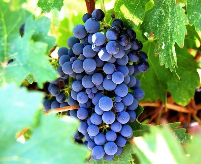 Il Frappato, una delle varietà autoctone più importanti della Sicilia