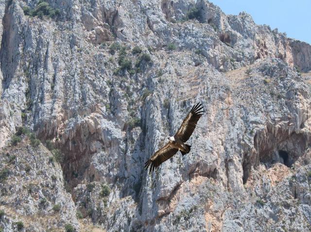 Grifone che vola e volteggia sulle Rocche del Crasto