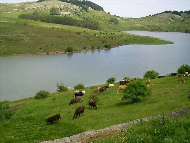 Bestiame che pascola tranquillamente ai bordi di un lago sui Nebrodi