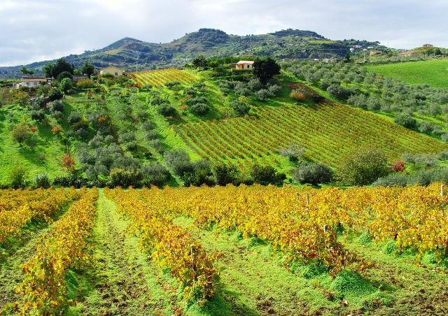 Le campagne di Alcamo, terra di vini
