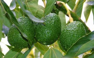 Il primo avocado Made in Sicily