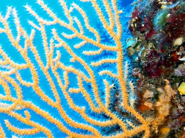 Esemplare di Gorgonia gialla