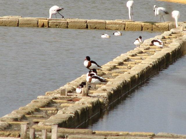 Uccelli migratori nelle Saline di Trapani