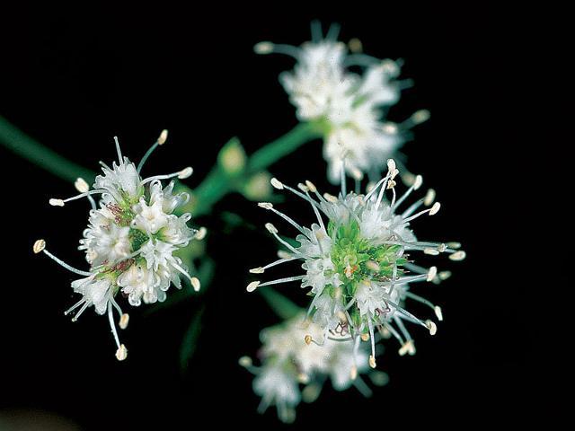 Falsasanicola (Petagna saniculaefolia Guss)