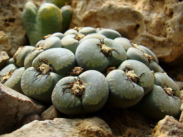 """Un esemplare di Lithops salicola del genere di """"piante succulente"""" appartenente alla famiglia delle Aizoaceae"""