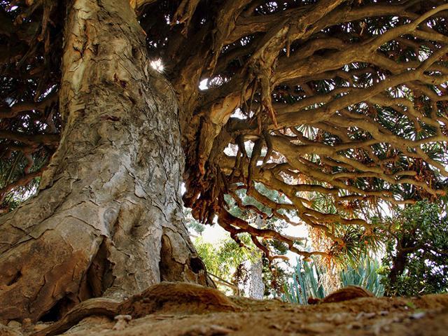 Una straodinaria Dracaena draco nell'Orto Botanico di Palermo