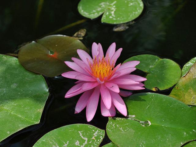 Fior di loto nella fontana centrale dell'Orto Botanico di Palermo