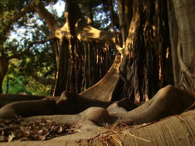 Un particolare delle radici aeree del Ficus magnolioides dell'Orto Botanico di Palermo