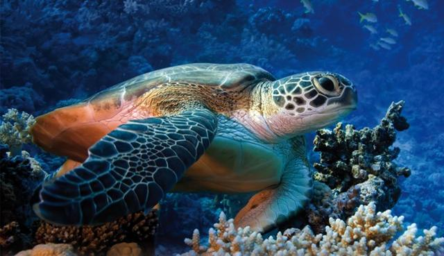 Una tartaruga Caretta Caretta, abitante delle acque di Lampedusa