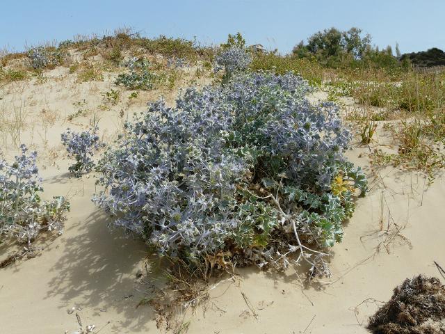 La vegetazione nelle dune di sabbia di Torre Salsa
