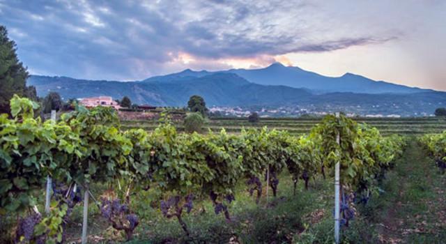 Le vigne delle Cantine Murgo a Santa Venerina