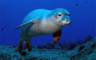 Il ritorno della foca monaca