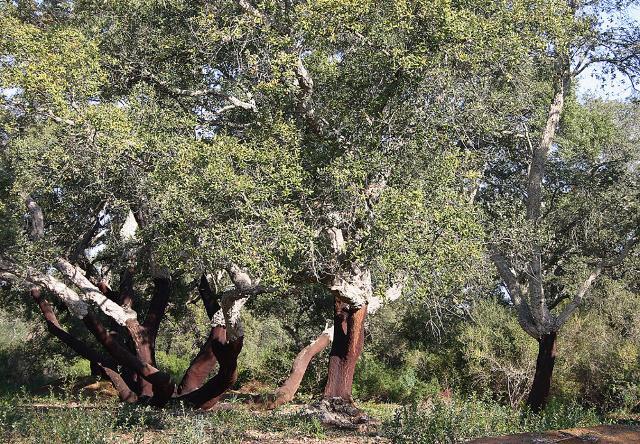 Alberi da sughero nella Suvarita di Monte Coniglio