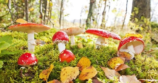 """Una """"famigliola"""" di funghi appartenenti alla specie Amanita muscaria.  uno dei funghi velenosi più appariscenti del bosco."""