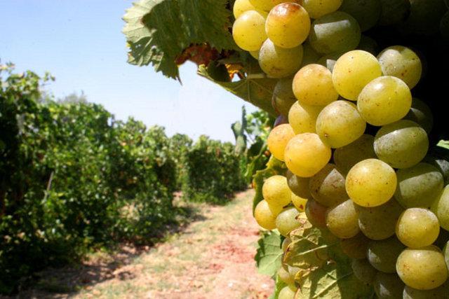 Il Moscato DOC è prodotto con uve di Moscato bianco sottoposte ad un leggero appassimento