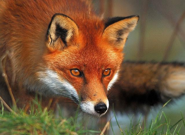 Una volpe rossa
