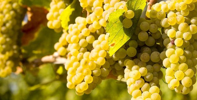 L'uva Chardonnay