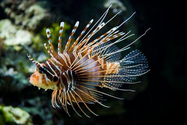 Un esemplare di pesce scorpione (Pterois miles)