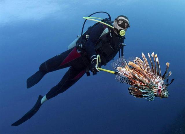 Pesce scorpione arpionato da un sub