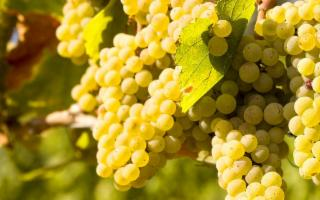 L'uva Chardonnay... siciliana
