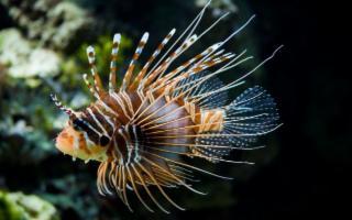 Avvistato in Sicilia il primo esemplare di pesce scorpione