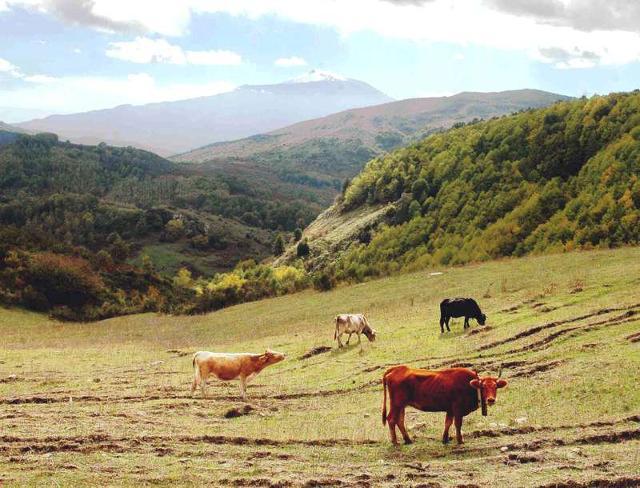 Vacche che pascolano su di un pianoro della dorsale dei Nebrodi