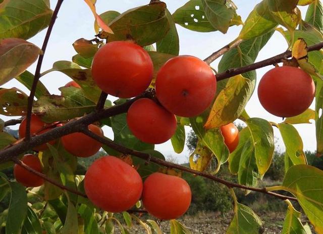 Il cachi è ricco di qualità organolettiche e fornisce all'organismo proteine vegetali e vitamine (A, B1 e B2).