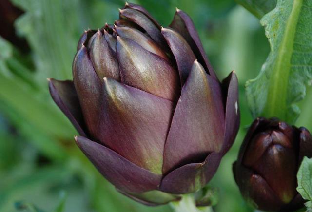 Omaggio al Carciofo, pianta generosa