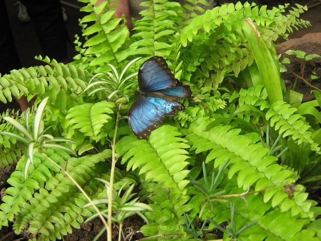 """Un esemplare di """"morfo blu"""", farfalla diffusa in America Centrale e Meridionale."""