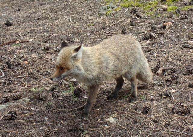 La volpe è uno dei mammiferi abitanti del Parco dell'Etna