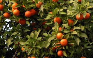 Fra gli agrumi è il più gentile e profumato, il mandarino