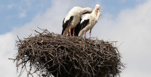 Le cicogne tornano a nidificare a Sambuca di Sicilia