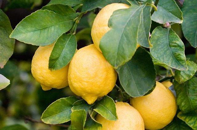Il Limone di Siracusa IGP