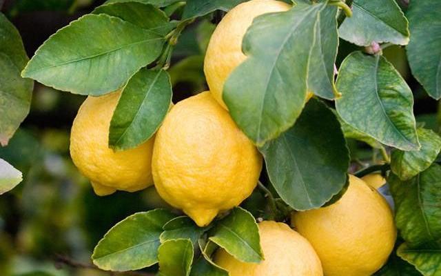 Tutti pazzi per il Limone di Siracusa IGP!