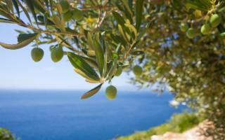 La nuova olivicoltura italiana parte dalla Sicilia