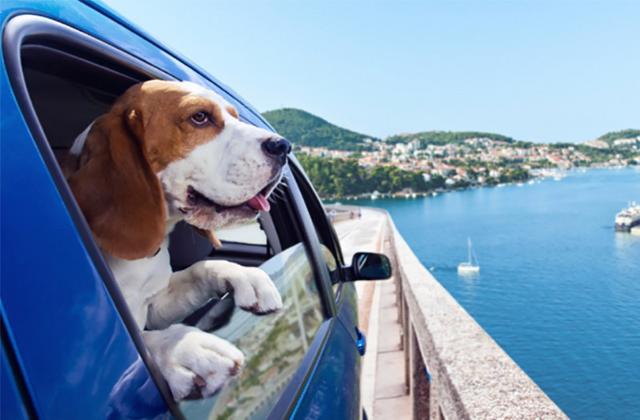 Durante il viaggio in auto gli esperti suggeriscono di fare una breve sosta ogni ora e mezza per permettere all'animale di non disidratarsi...