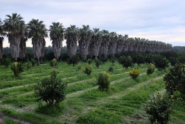 Una fila di palme nel Giardino di San Giuliano a Villasmundo