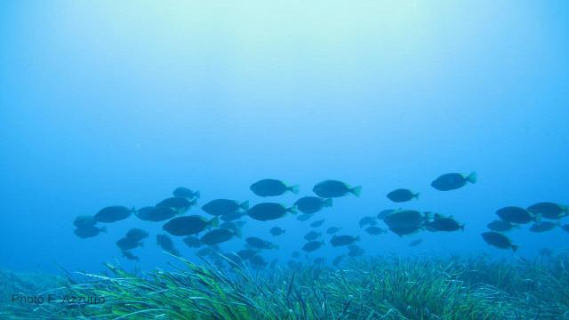 Un banco di pesci coniglio (Siganus luridus)