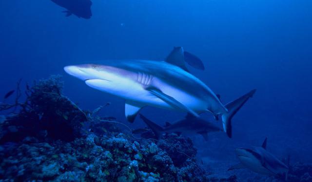 Alcuni esemplari di squali grigi