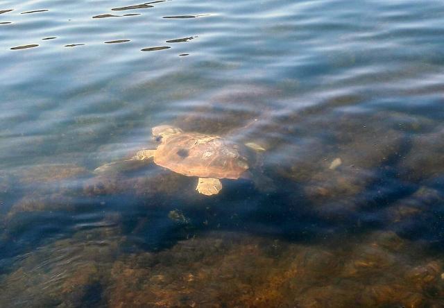 Le tartarughe Paolo ed Emanuela tornano libere in mare