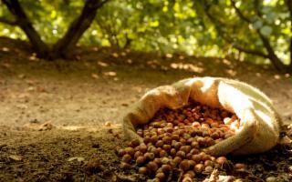A Palermo un progetto sperimentale contro la cimice del nocciolo