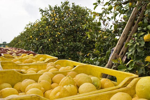Raccolta dei Limoni di Siracusa IGP