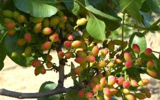 A Bronte i produttori di pistacchio in crisi a causa della siccità
