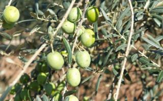 ''OLIOVE'' - IGP Sicilia premiato al prestigioso concorso ''Le Forme dell'Olio''