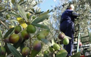 La promozione dell'olivicoltura nazionale parte dalla Sicilia