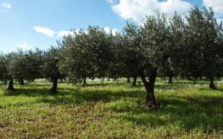 Piantumazione alberi di ulivo per le vittime della mafia